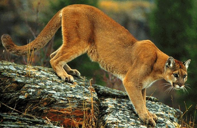 Big wild cats - cougar