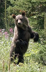 Wild Bear Dangers - Bear Safety - Bear Standing